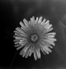 Silberra ORTA50 B&W Film 135/36 Photo 5